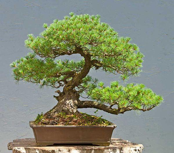 bonsai apprendre les bases pour cultiver un arbre nain