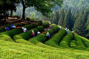 Plantation de thé vert en Chine