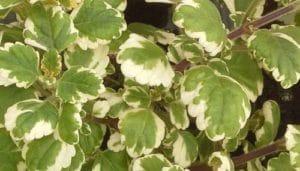 Plante d'encens