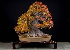 Bonsai : Apprendre les bases pour cultiver un arbre nain
