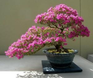 bonsai azalée en fleurs