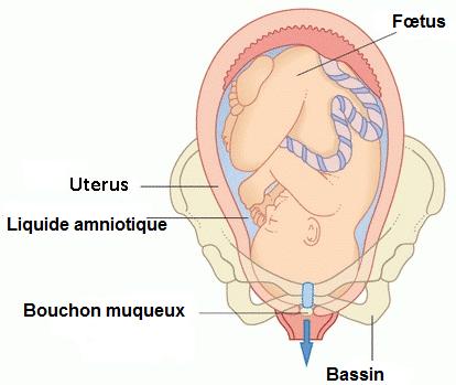 coupe du fœtus avec bouchon muqueux