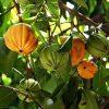 Garcinia Cambogia : Le meilleur brûleur de graisse