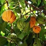 fruit de garcinia Cambogia